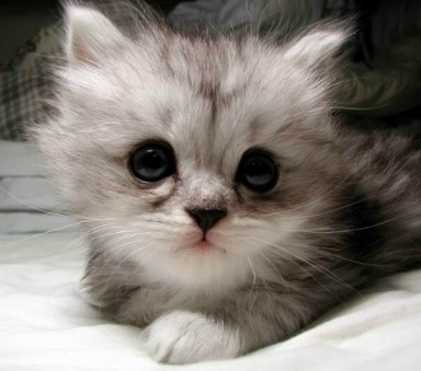 http://images.cutelittlekittens.com/files/images/abyssian/cat_cute3_182.jpg