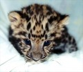 Go to Baby leopard Picture