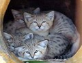 Go to Sand cats from the Middle East Picture