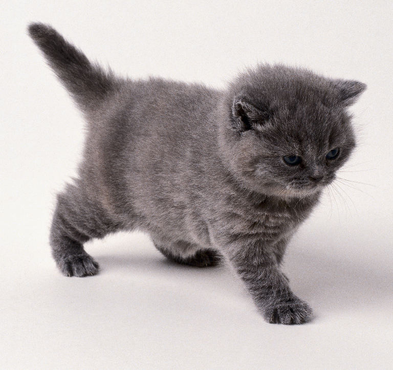 Grey Kitten Rel...